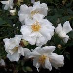 Rosa Innocencia (4)