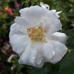 Rosa Innocencia (3)