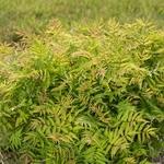 Sorbaria sorbifolia Matcha Ball (1)