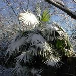 Trachycarpus fortunei (1)
