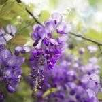 Wisteria floribunda Royal Purple