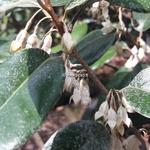 Elaeagnus ebbingei (1)