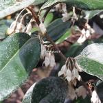 Elaeagnus ebbingei (3)