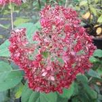 Hydrangea arborescens Ruby Annabelle (3)