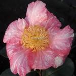 Camellia sasanqua Ashtar (2)