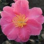 Camellia sasanqua Belinda (2)