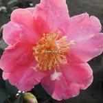 Camellia sasanqua Belinda (3)