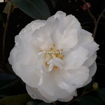 Camellia sasanqua Etoile du Berger (1)