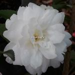 Camellia sasanqua Fuji no Yuki (3)