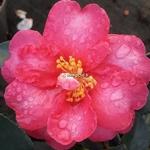 Camellia sasanqua Hiryu