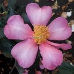 Camellia sasanqua New Dawn