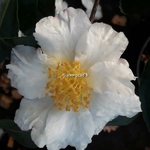 Camellia sasanqua Setsugekka