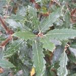 Quercus x kewensis (1)