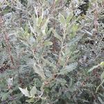 Quercus x kewensis (3)