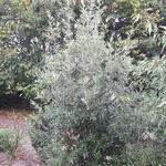 Quercus x kewensis (2)