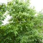 Sinojackia xylocarpa Lagrima (1)