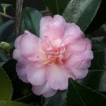 Camellia sasanqua Winter Interlude