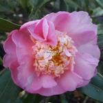 Camellia x sasanqua Sugar Dream (1)