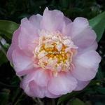 Camellia x sasanqua Sugar Dream (3)