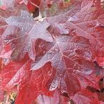 Hydrangea quercifolia Pee Wee (1)