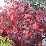Hydrangea quercifolia Pee Wee (2)