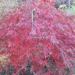 Acer palmatum Dissectum Tamukeyama (1)