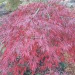 Acer palmatum Dissectum Tamukeyama (2)