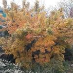 Acer palmatum Mikawa Yatsubusa (2)