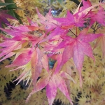 Acer palmatum Mikawa Yatsubusa (1)