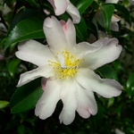 Camellia sasanqua Frosted Star (2)