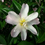 Camellia sasanqua Frosted Star (3)