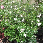 Camellia sasanqua Frosted Star (1)