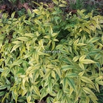 Nandina domestica Lemon Lime