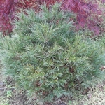 Pinus stobus Minima