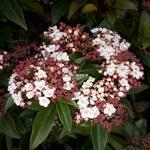 Viburnum tinus Spirit (2)