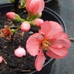 Chaenomeles Pink Lady (3)