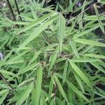 Borinda angustissima (1)