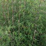 Borinda angustissima