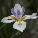 Dietes grandiflora (3)