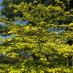 Cornus alternifolia Golden Shadow