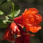 Punica granatum Wonderful (1)