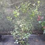 Pittosporum tenuifolium (2)