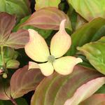 Cornus kousa Blooming Pink Tetra