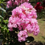 Lagertroemia indica Rose Thé (2)