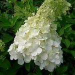 Hydrangea paniculata Polar Bear'
