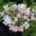 Hydrangea paniculata Angel Blush (2)