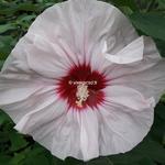 Hibiscus x moscheutos Cherry Cheesecake