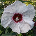 Hibiscus x moscheutos Cherry Cheesecake (2)