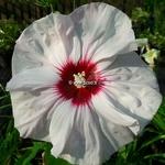 Hibiscus x moscheutos Cherry Cheesecake (1)