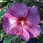 Hibiscus x moscheutos Berry Awesome (2)